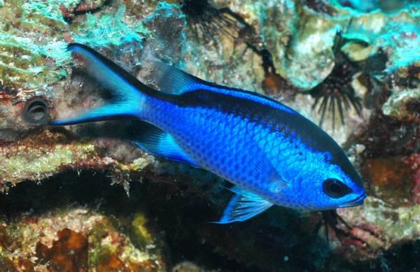 Bilde av Blue Reef Chromis / Chromis cyanea