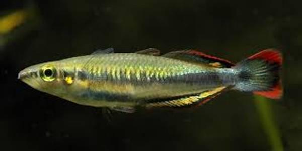 Bilde av Madagaskar-regnbuefisk