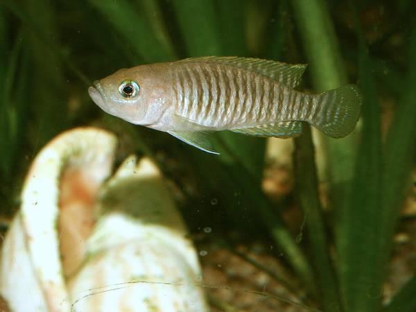 Bilde av Neolamprologus Multifasciatus