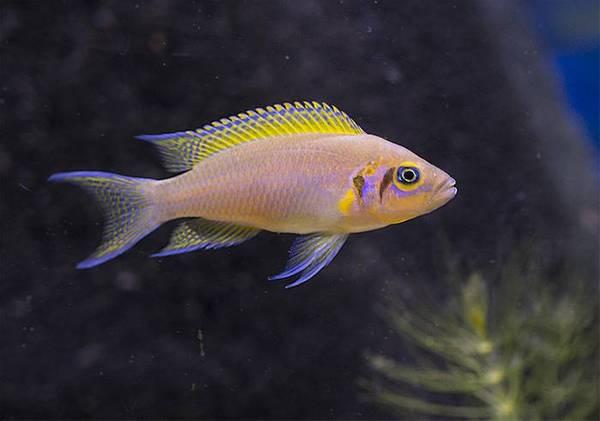 Bilde av Prinsessen av Zambia / Neolamprologus pulcher 6-8cm