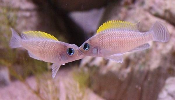 Bilde av Neolamprologus caudopunctatus