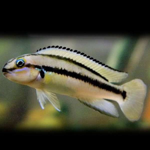 Bilde av Telmatochromis vittatus Shell 3,5-5cm