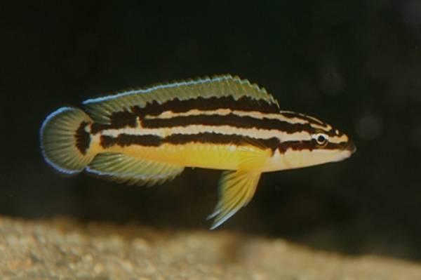 Bilde av Julidocromis ornatus