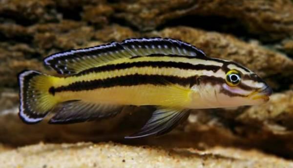 Bilde av Julidochromis regani