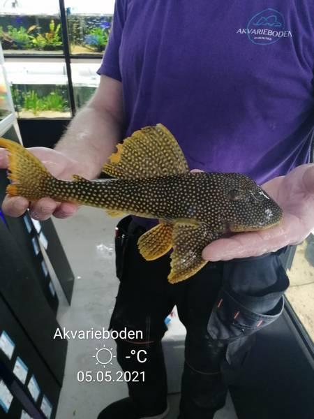 Bilde av L014 Scobinancistrus aureatus 30-35cm