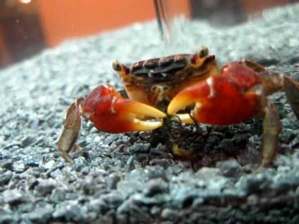 Bilde av Rød Mangrove krabbe / Sesarma bidens
