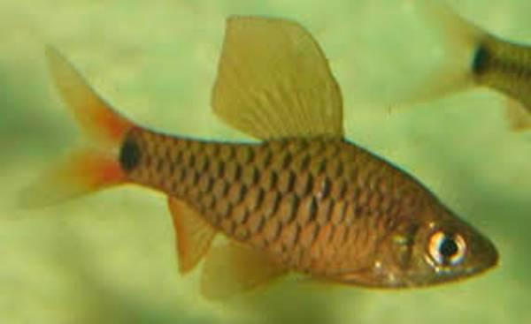 Bilde av Oreichthys sp. Burma Redfin 2.5-3cm