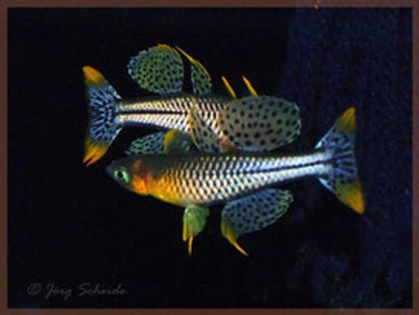 Bilde av Pseudomugil gertrudae