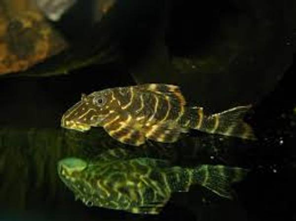 Bilde av  L104 Panaqolus Maccus 5-6cm