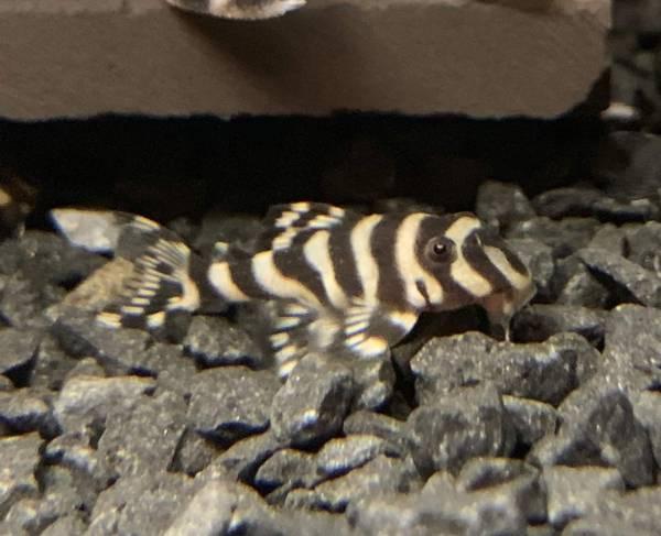 Bilde av L236 Hypancistrus 4-5cm( glaser)