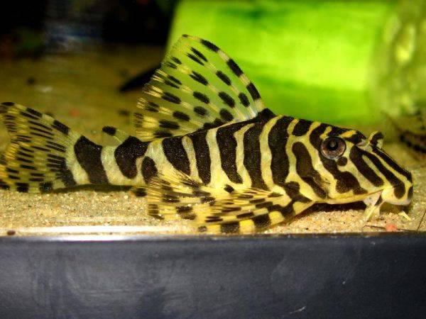 Bilde av  L134 peckoltia compta 3-4cm