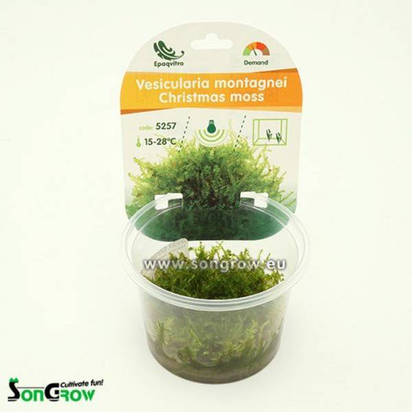 Bilde av Vesicularia montagnei (Christmas moss) invitro