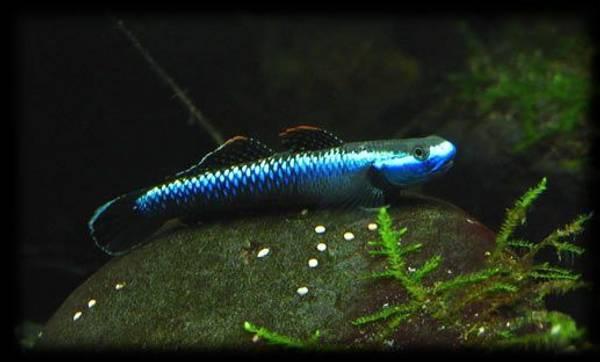Bilde av  Stiphodon sp. undio blueBlue Neon Goby