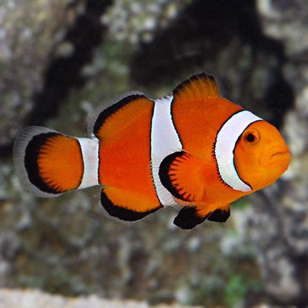 Bilde av Klovnefisk / Amphiprion ocellaris