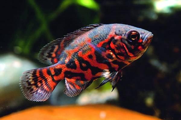 Bilde av Tiger Oscar Ciklide  / ASTRONOTUS OCELLATUS RED TIGER 3-4cm