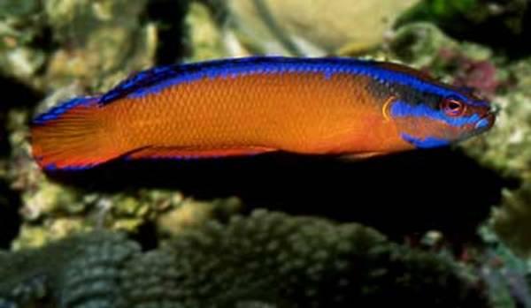 Bilde av Neon Dottyback – Pseudochromis aldabraensis