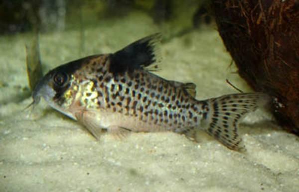 Bilde av Corydoras  leucomelas