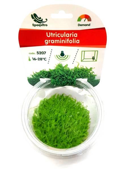 Bilde av Utricularia graminifolia  epaqvitro