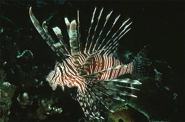 Bilde av Pterois volitans Dragefisk 6-8cm