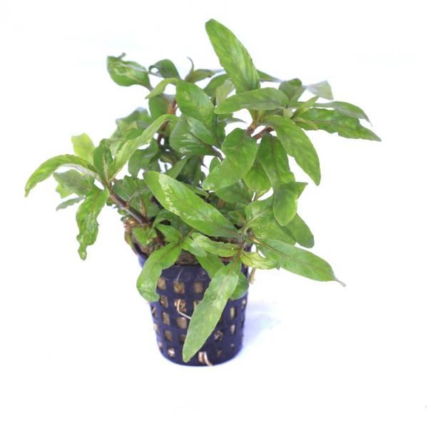 Bilde av hygrophila salicifolia