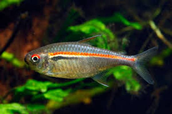 Bilde av Hyphessobrycon Amapensis
