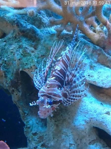 Bilde av Dragefisk   Pterois antennata  12-14cm