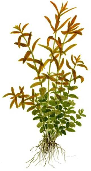 Bilde av Rotala rotundifolia - 1-2 Grow!