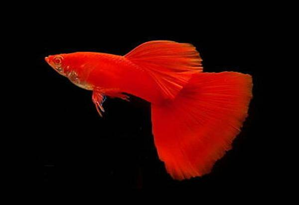 Bilde av Guppy Poecilia Reticulata Full Red Show par