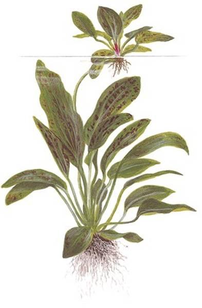 Bilde av Echinodorus