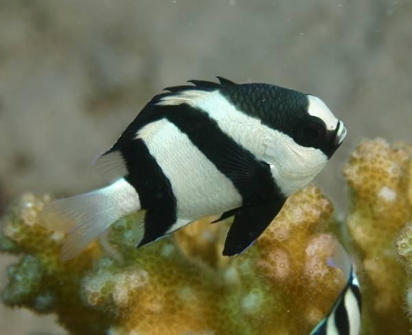 Bilde av Humbug damsel Dascyllus aruanus