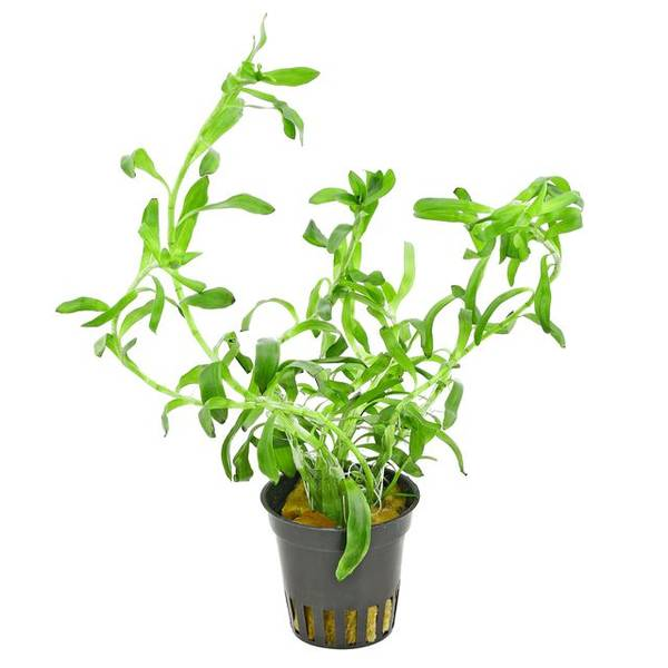 Bilde av Heteranthera zosterifolia