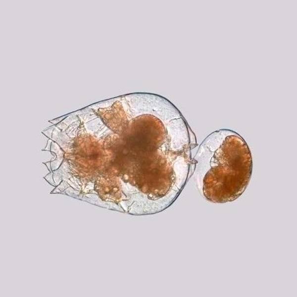 Bilde av Live Saltwater Rotifers  - 90 ml