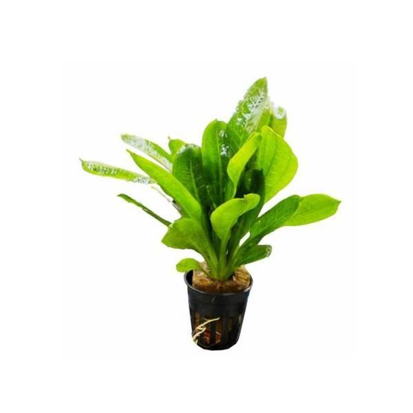 Bilde av Echinodorus parviflora
