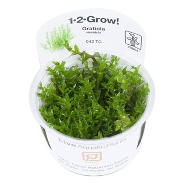 Bilde av Gratiola viscidula - 1-2 Grow!