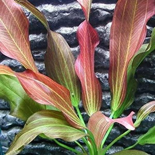 Bilde av Echinodorus Hot Pepper