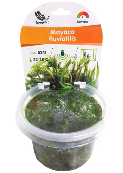 Bilde av Mayaca fluviatilis invtro