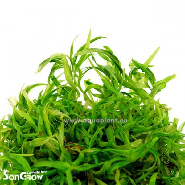 Bilde av Eichhornia azurea invitro