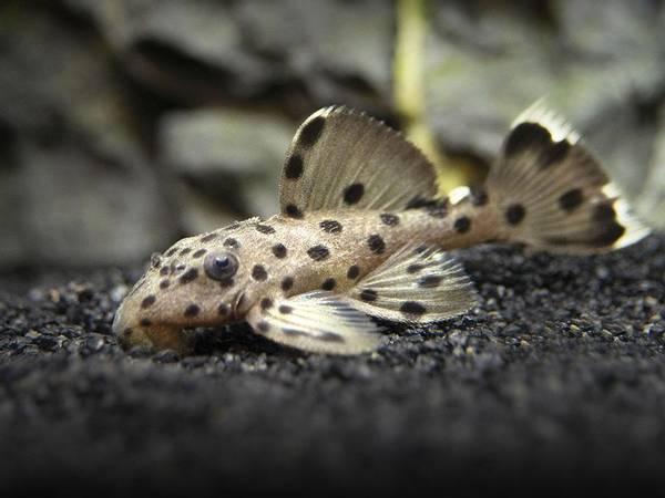 Bilde av L264  Leporacanthicus joselimai VF 5-7cm