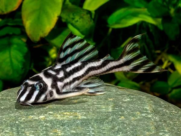 Bilde av L046 Hypancistrus zebra  Voksne VF Par