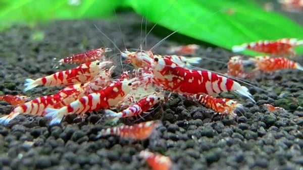 Bilde av Caridina Fancy Tiger Red