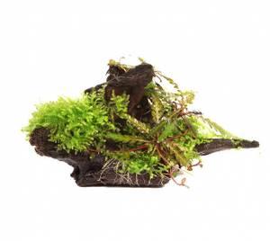 Bilde av Hygrophila pinnatifida and moss