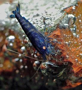 Bilde av Blue Tiger OE *champion line*