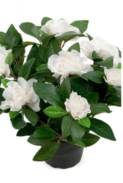 Gardenia i potte