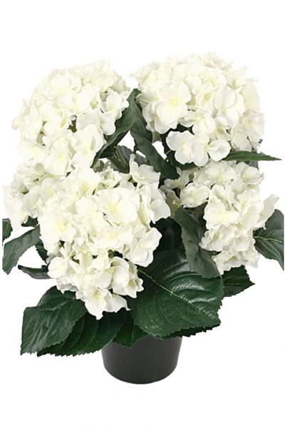 Hortensia i potte - hvit