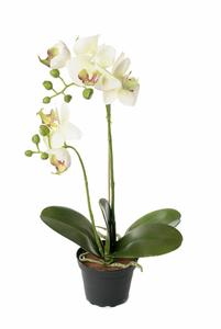 Bilde av Orkidé i potte - hvit