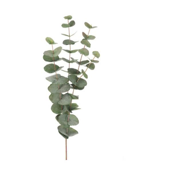 Eucalyptus - 60 cm