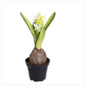 Bilde av Hyacint