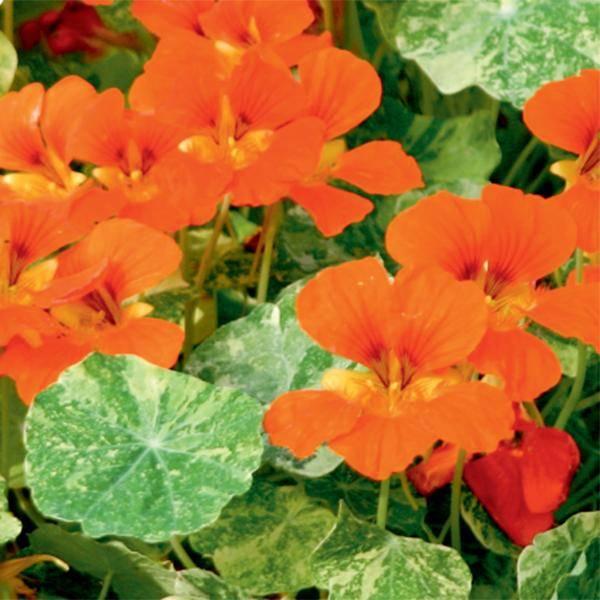 Bilde av  TROPAEOLUM 'Troika Orange'. BLOMKARSE