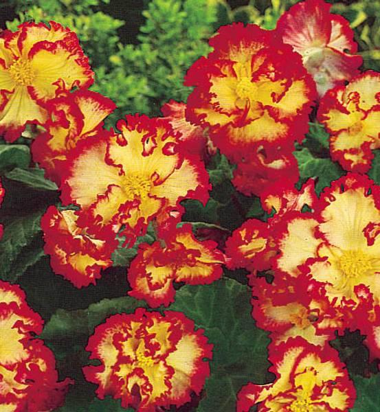 Bilde av BEGONIA Crispa Marginata - Rød med gul flamme.