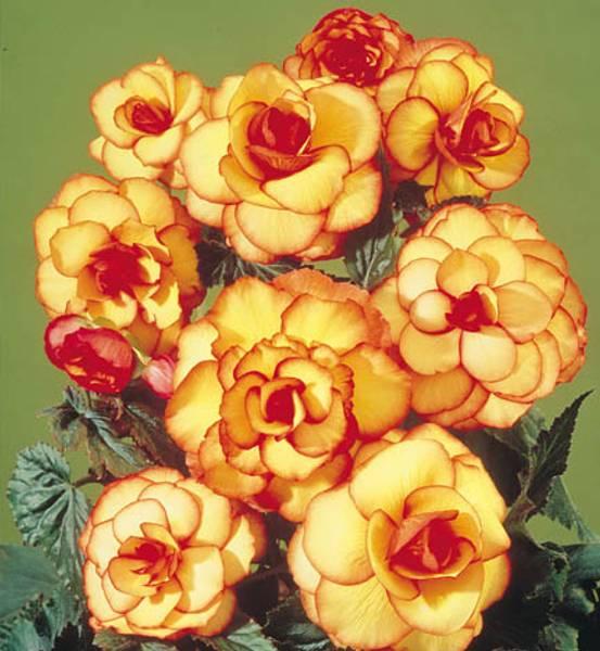 Bilde av BEGONIA 'Picotee' rød/gul - Storblomstret